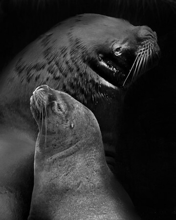 This photograph of a pair of South American Fur Seals was captured in the Patagonia area of Chile (1/12).  This photograph is protected by the U.S. Copyright Laws and shall not to be downloaded or reproduced by any means without the formal written permission of Ken Conger Photography.