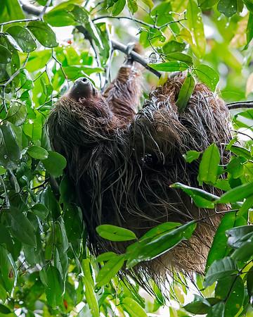 Tamshiyacu Tahuayo Regional Conservation Area Two-toed Sloth