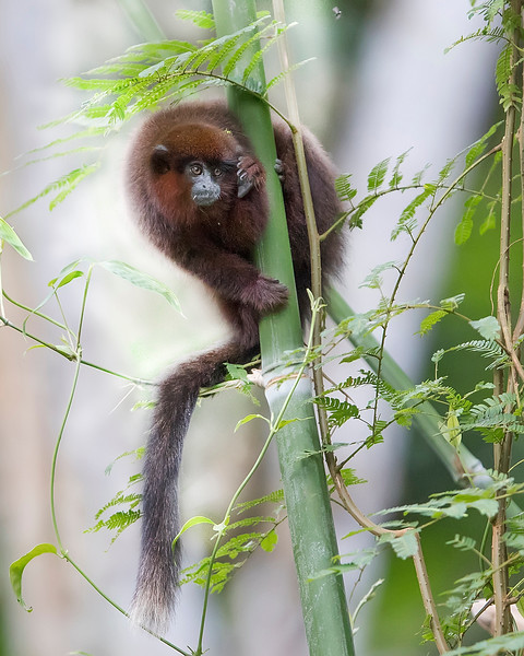 Tambopata National Reserve Dusky Titi Monkey