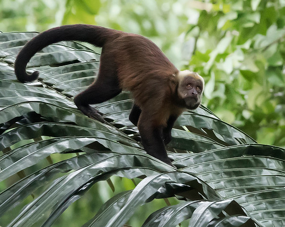 Tambopata National Reserve Capuchin Monkey