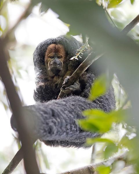 Tamshiyacu Tahuayo Regional Conservation Area Monk Saki Monkey