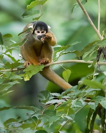 Tambopata National Reserve Squirrel Monkey