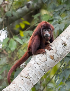 Tambopata National Reserve Red Howler Monkey