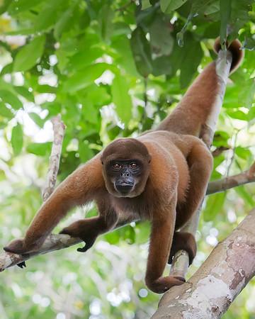 Tamshiyacu Tahuayo Regional Conservation Area Woolly Monkey