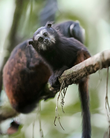 Tambopata National Reserve Saddleback Tamarin