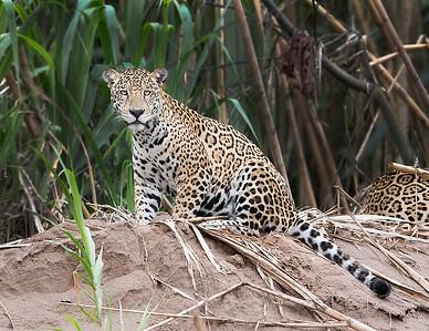 Tambopata National Reserve Jaguar