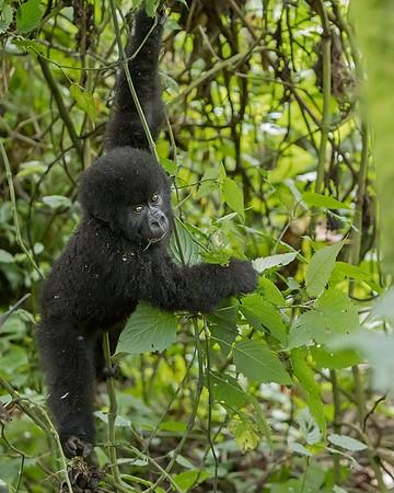 Volcanoes National Park Baby Gorilla
