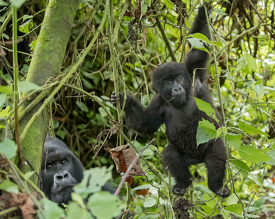 Volcanoes National Park Mopther and Baby Gorilla
