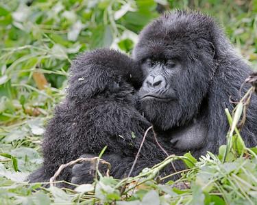 Volcanoes National Park Mother and Infant Gorilla
