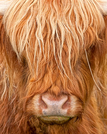 This is a photograph of a Highland Cattle head taken in Glen Coe, Scotland (5/06).