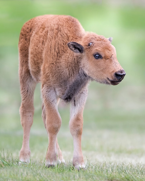Bison Calf in Yellowstone National Park