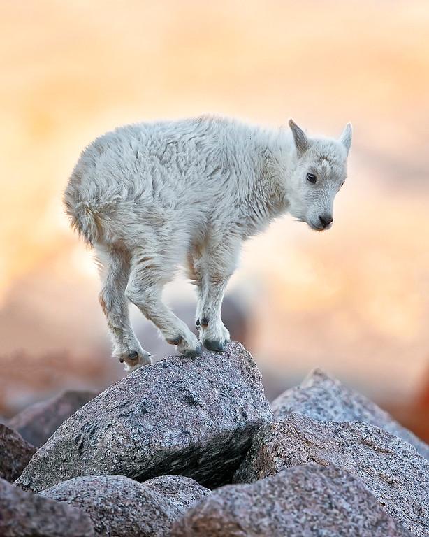 Mountain Goat Kid at Mount Evans