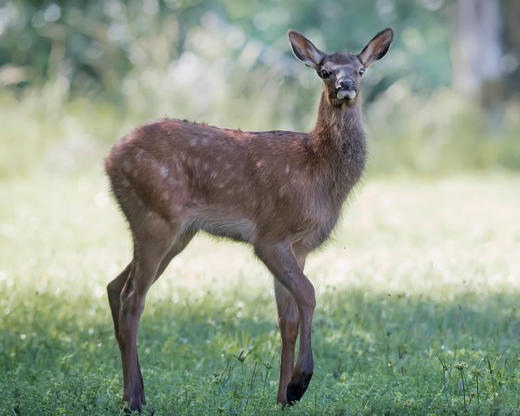Roosevelt Elk Fawn in Redwood National Park