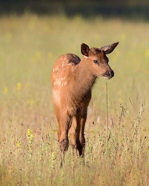 Roosevelt Elk Fawn in Redwood National Park