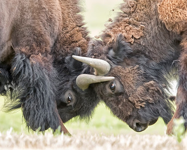 Bison Battling in Yellowstone National Park