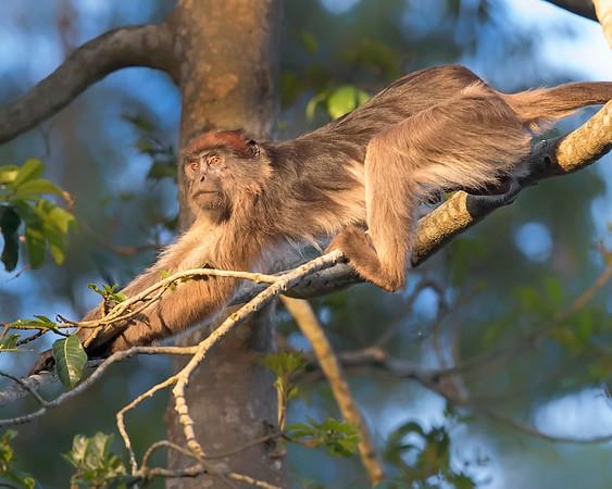 Kibale Red Colobus Monkey