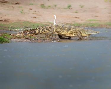 Queen Elizabeth National Park Crocodile