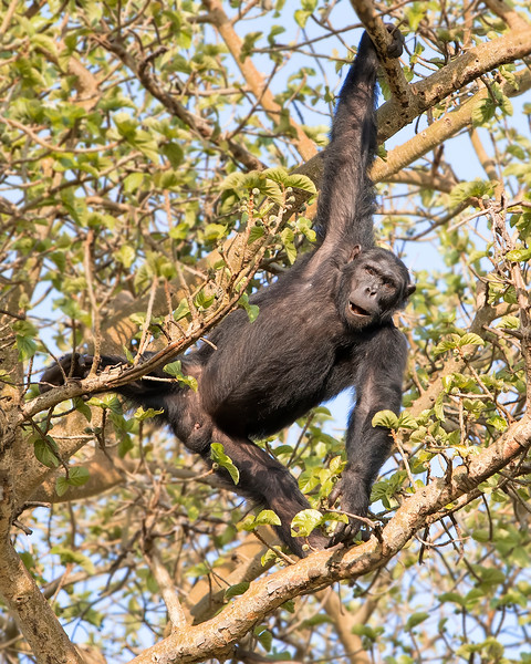 Kyambura Gorge Queen Elizabeth National Park Chimpanzee