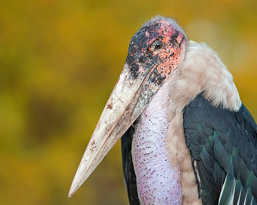 Queen Elizabeth National Park Maribou Stork