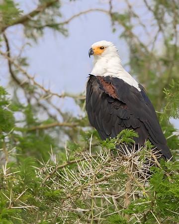 Queen Elizabeth National Park African Fish Eagle