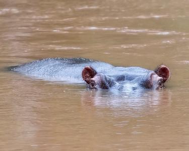 Queen Elizabeth National Park Hippo