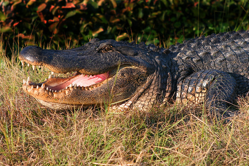 In addition to the dolphins, viewing alligators was another highlight of the trip.  This gator pic was taken at the Stennis NASA Base.