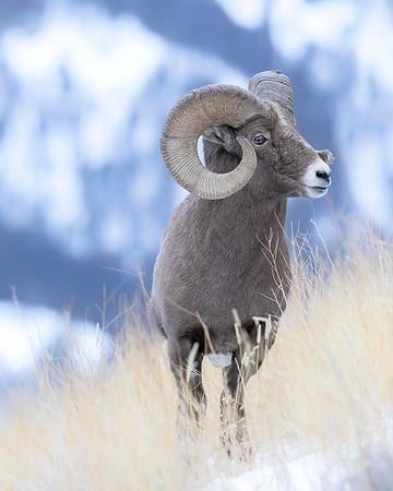 Yellowstone Bighorn Sheep