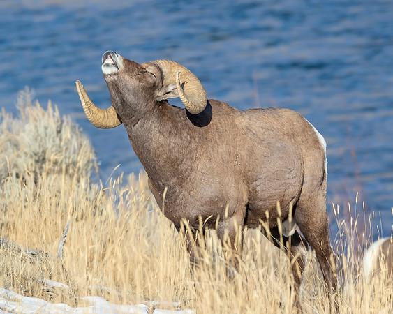 Yellowstone Natoinal Park Bighorn Sheep