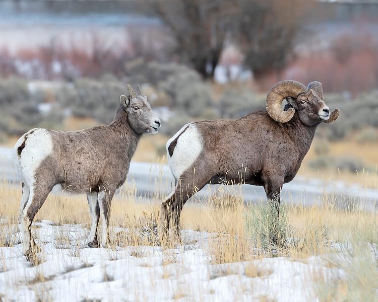 Yellowstone National Park Bighorn Sheep Pair