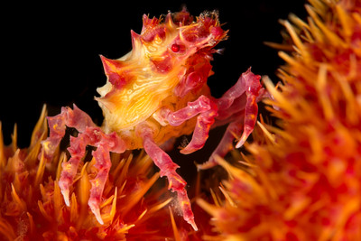 Soft Coral Candy Crab, grows to 1.5 cm