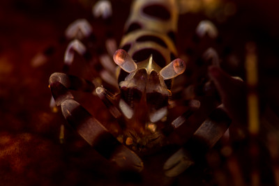 Coleman Shrimp on a Fire Urchin, grows to 2 cm