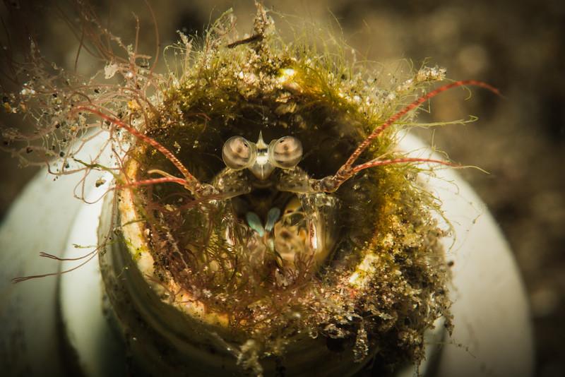 Mantis Shrimp living in a bottle