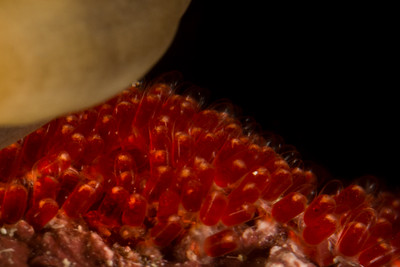 Clownfish Eggs that were placed beneath an Anemone