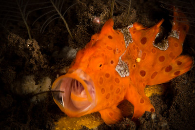 Painted Frogfish Eating