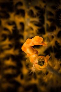 Denise's Pygmy Seahorse, about 1cm