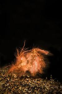 Hairy (Algae) Shrimp
