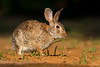 Cotton-tailed Rabbit