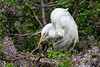 Great Egret tending the nest