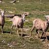 Big Horn Ewes, Summit Lake
