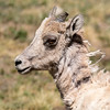 Young Big Horn ewe, Summit Lake
