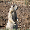 Prairie Dog, North Park, CO
