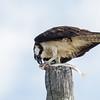 Osprey, Bolivar Peninsula