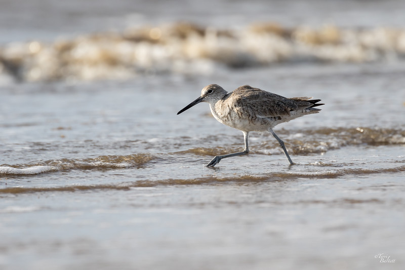 Willet, Bolivar Flats Sanctuary