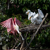 Roseate Spoonbill & Great Egret Chicks