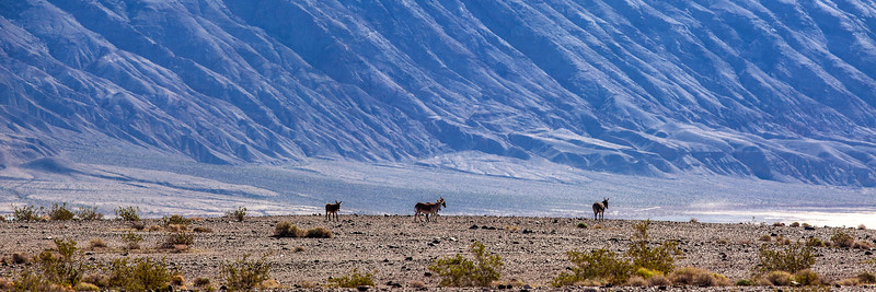 Burros of the Panamint Valley