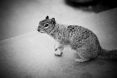 """""""Maxwell the Squirrel"""" South Rim, Grand Canyon"""