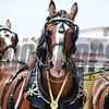 Budweiser Clydesdale horses at the 2012 Preakness