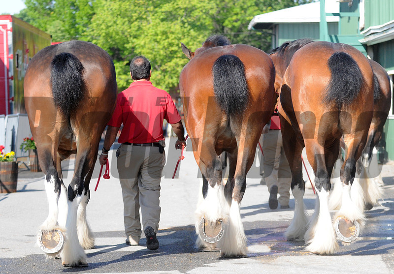Budweiser Clydesdales on their morning walk,  Pimlico Race Track, Baltimore, MD 5/19/12, Photo by Mathea Kelley