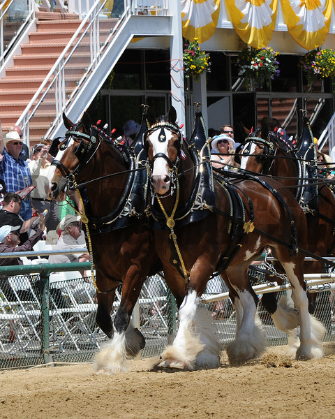 Scenes, Clydesdales,   Pimlico Race Track, Baltimore, MD 5/19/12, Photo by Mathea Kelley ,
