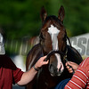 Bodemeister looks alert after being washed this morning after his exercise in preparation for the Preakness Stakes May 18, 2012. <br /> Skip Dickstein Photo